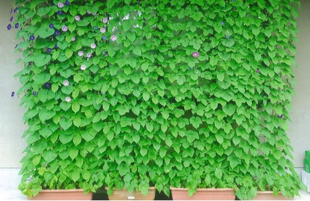昨年度大賞をとった緑のカーテンの写真